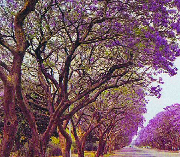 Jacaranda_trees_in_Montagu_Ave,_Harare,_Zimbabwe_in_1975